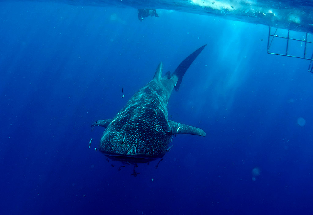 What does a whale shark look like?